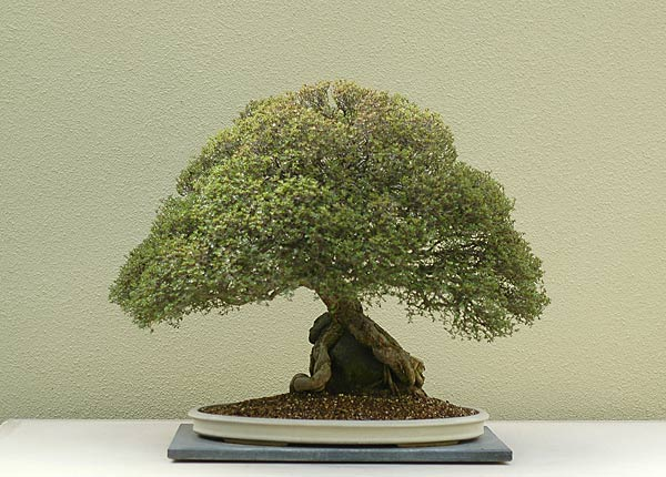 Bonsai Photo of the Day 2-5-20