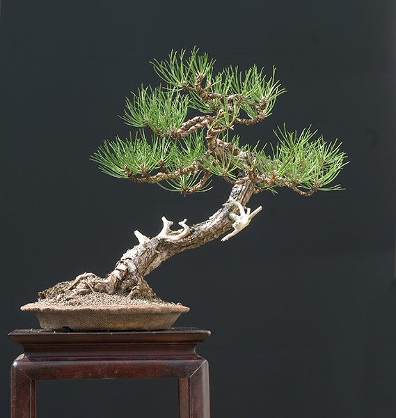 Bonsai Photo of the Day 2-6-20