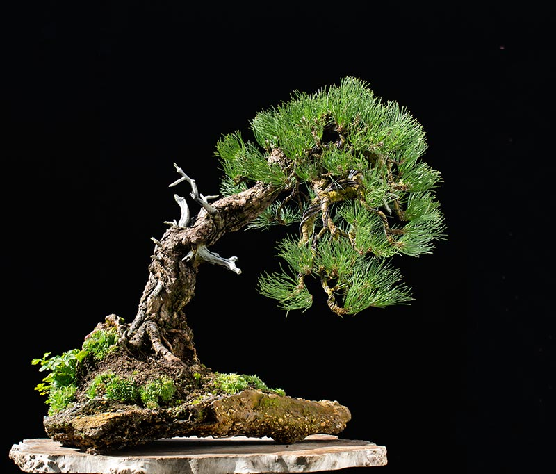 Bonsai Photo of the Day 2-7-20