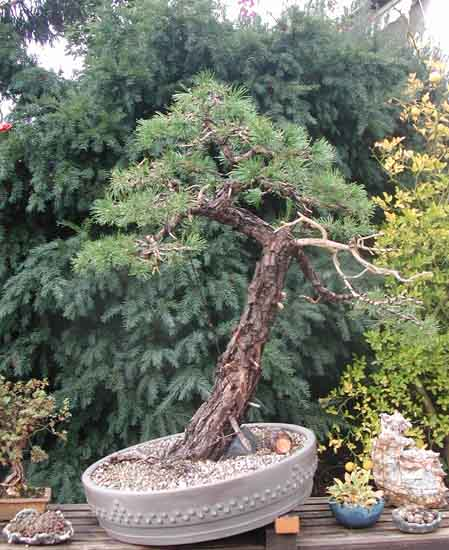 Bonsai Photo of the Day 3-12-20