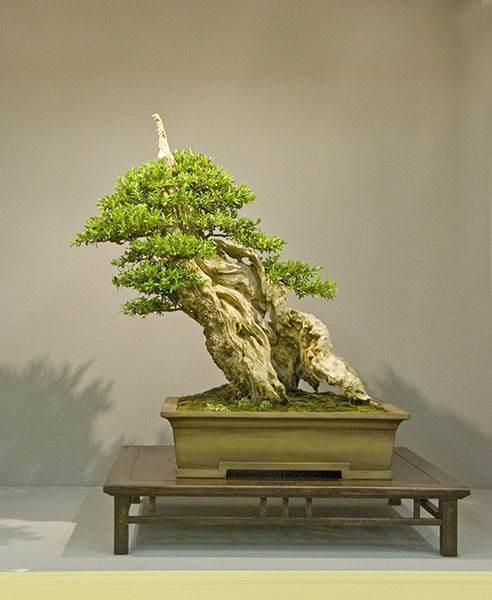 Bonsai Photo of the Day 3-16-20