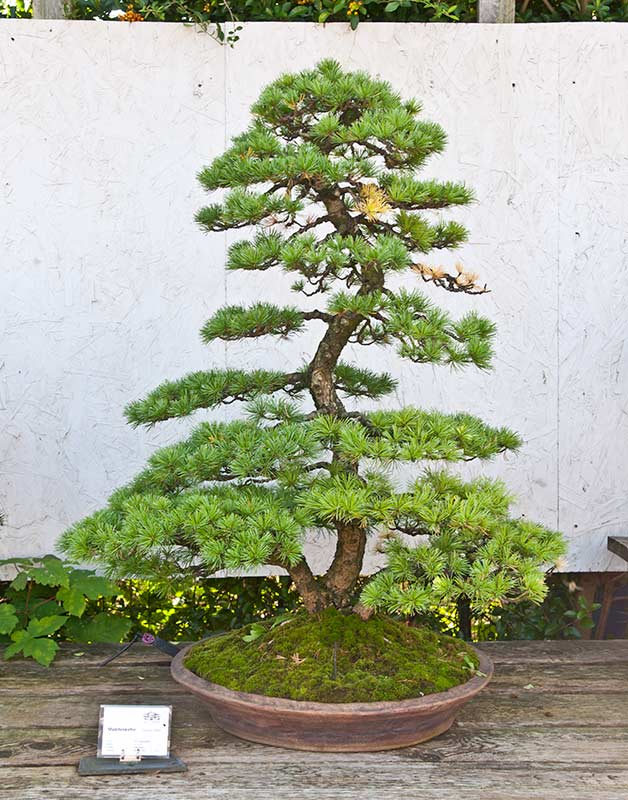 Bonsai Photo of the Day 3-23-20