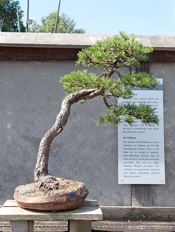 Bonsai Photo of the Day 3-25-20