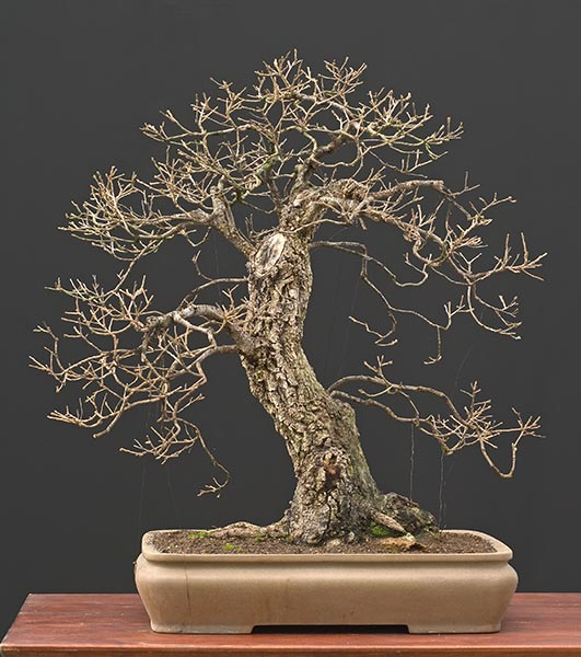 Bonsai Photo of the Day 3-27-20