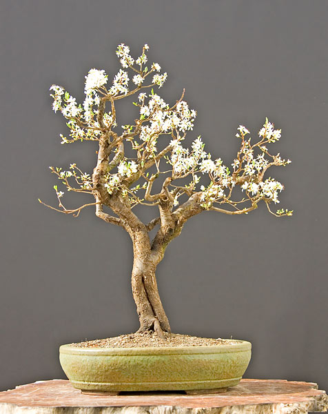Bonsai Photo of the Day 3-3-20