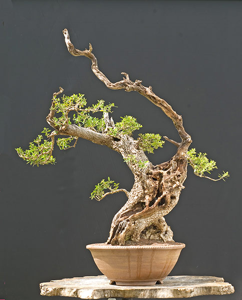 Bonsai Photo of the Day 3-31-20