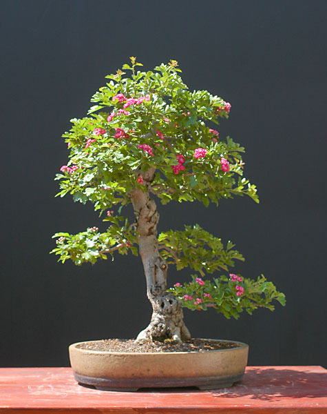 Bonsai Photo of the Day 3-4-20