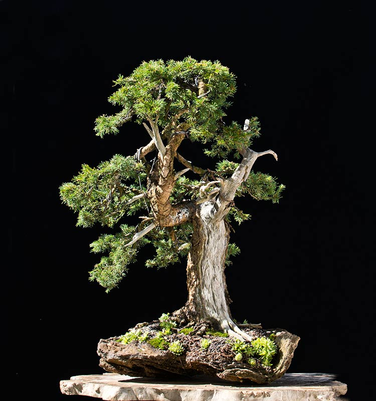 Bonsai Photo of the Day 4-13-20