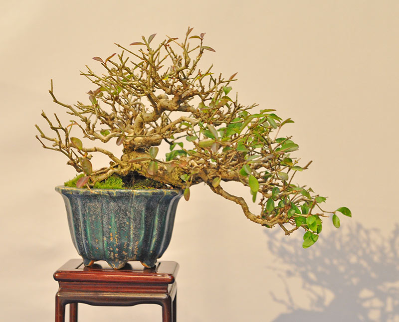 Bonsai Photo of the Day 4-14-20