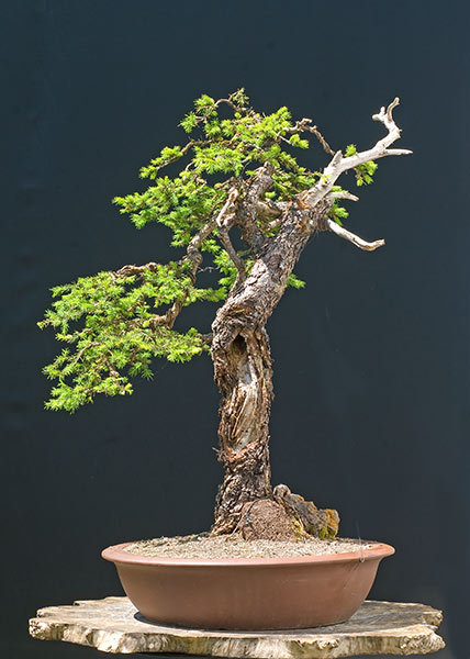 Bonsai Photo of the Day 4-15-20