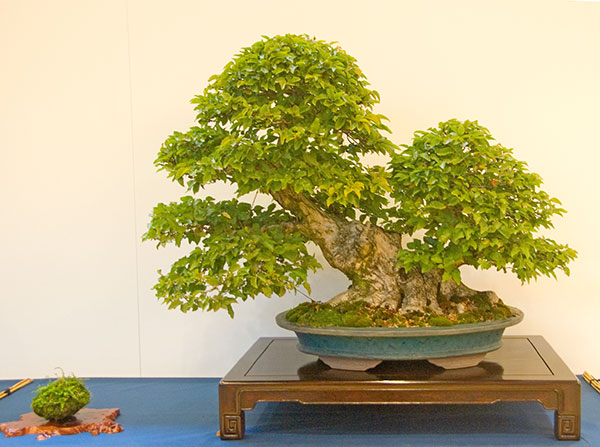 Bonsai Photo of the Day 4-17-20